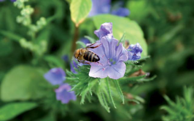 Butineurs et pollinisateurs sont les amis du jardinier !