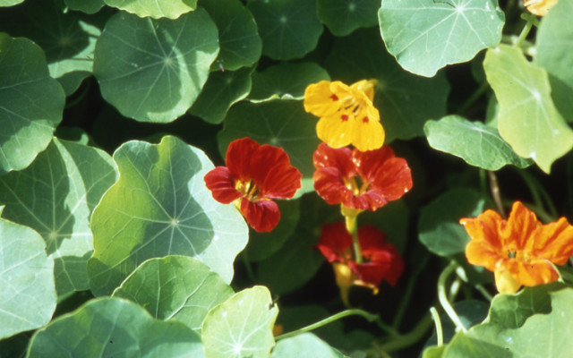 Fleur Capucine : Un aimant à pucerons
