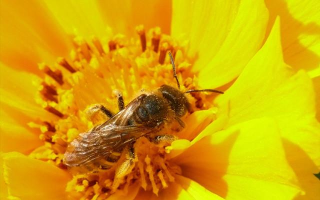 Abeille : un pollinisateur utile