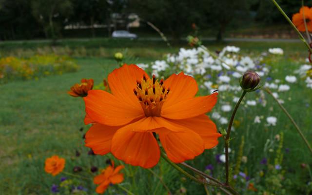 Cosmos : Apportez de la couleur au jardin