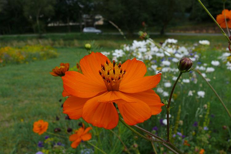 Cosmos apportez de la couleur au jardin jardin for Au jardin des couleurs