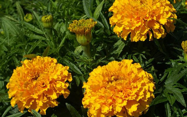 Oeillet d'Inde : fleur utile au potager !