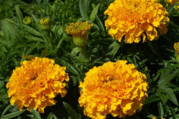 Oeillet d 39 inde fleur utile au potager jardin for Fleurs thes au jardin