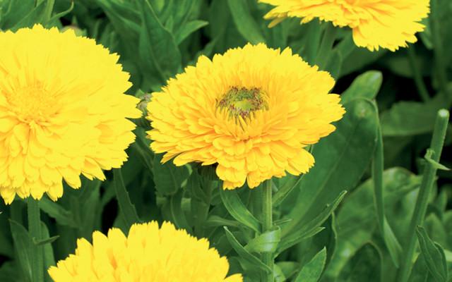 Potager : Les Fleurs Utiles