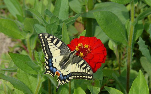 Papillon : insecte beau et utile