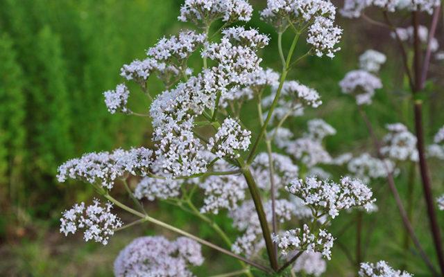 Valériane : Belle plante et utile