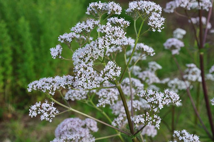 Val riane belle plante et utile jardin biodiversit for Plante utile