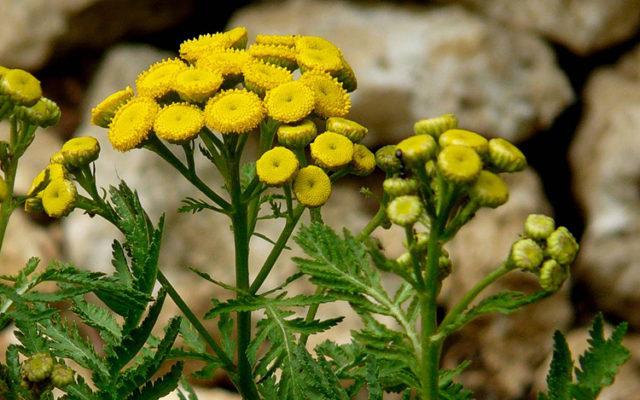 Tanaisie : Fleur utile au potager