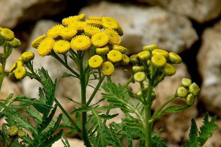 Tanaisie fleur utile au potager jardin biodiversit for Fleurs thes au jardin