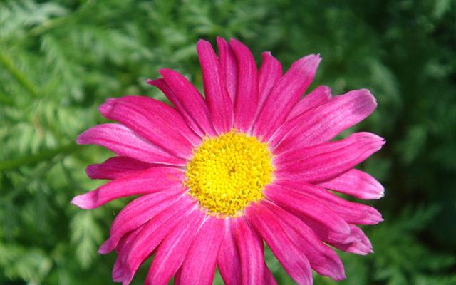 La Pyrèthre : Insecticide naturel du jardin